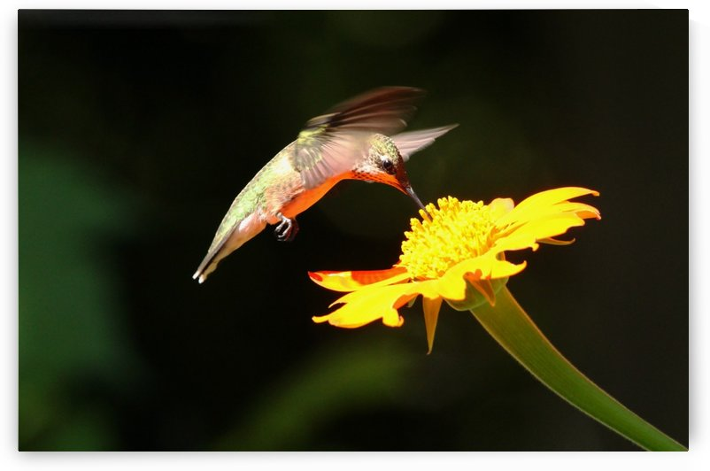 Hummingbird Feeding On Mexican Sunflower by Deb Oppermann