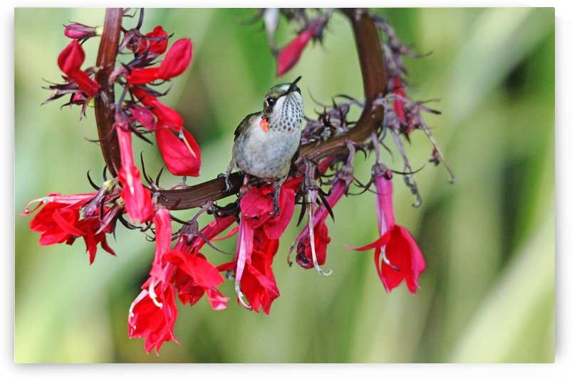 Hummingbird With Attitude by Deb Oppermann