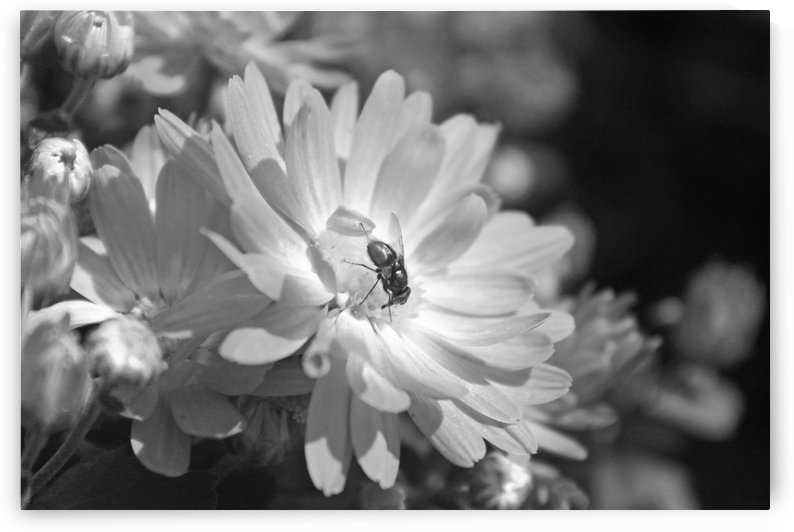 A Flower and A Fly B&W by Gods Eye Candy