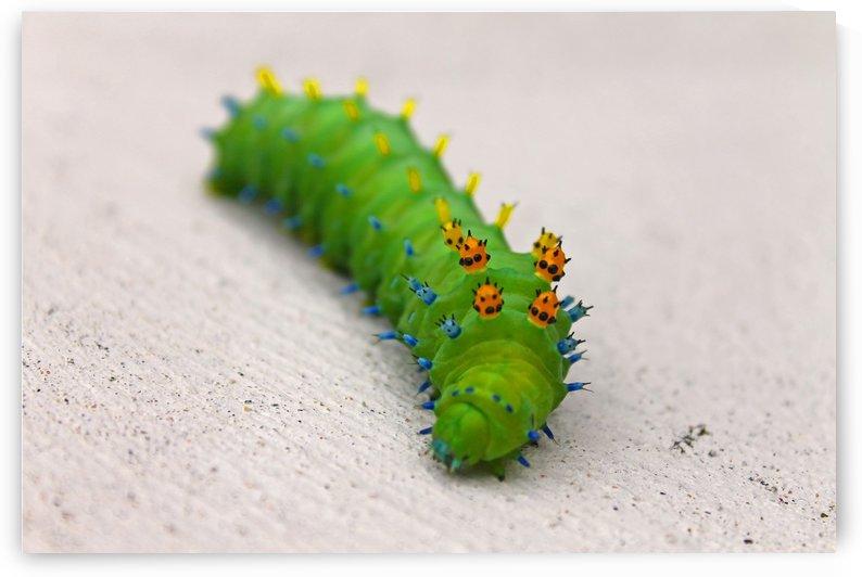 Large Caterpillar by Gods Eye Candy