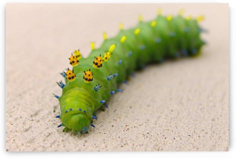 Rainbow Caterpillar by Gods Eye Candy