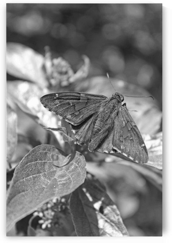 Brown Moth B&W by Gods Eye Candy