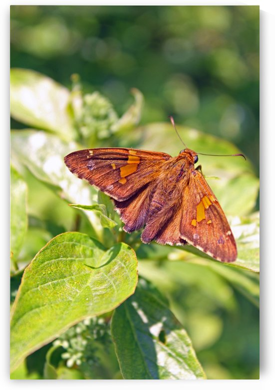Brown Moth by Gods Eye Candy