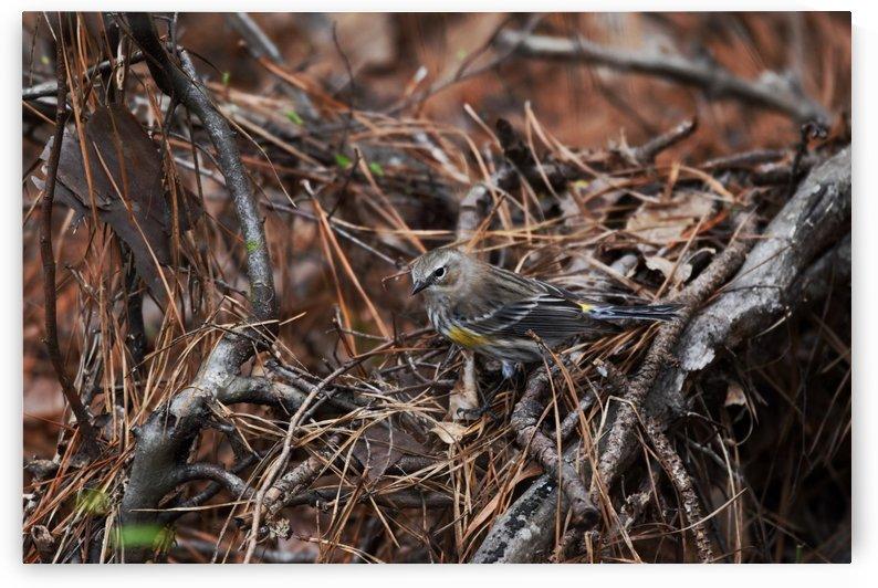 Yellow-rumped warbler by LambySnaps