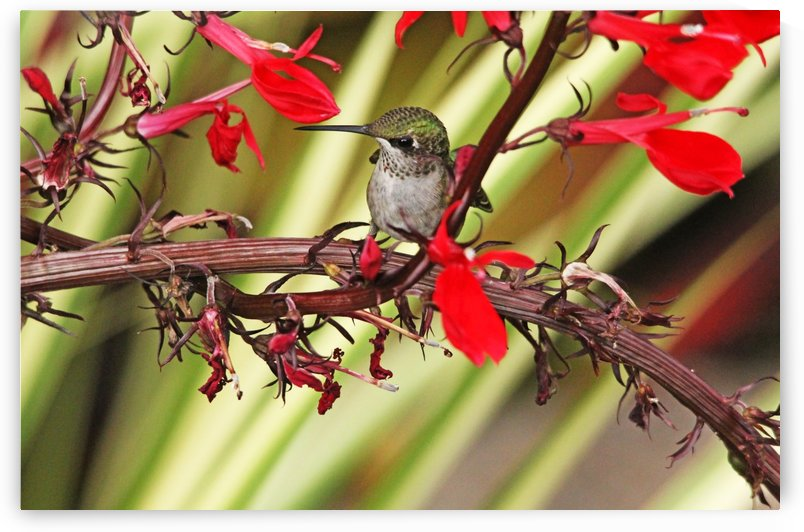 Satisfied Hummingbird by Deb Oppermann