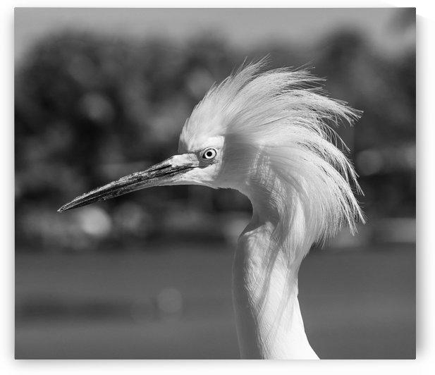 Snowy Egret Portrait Monochrome by Stefano Senise Photography