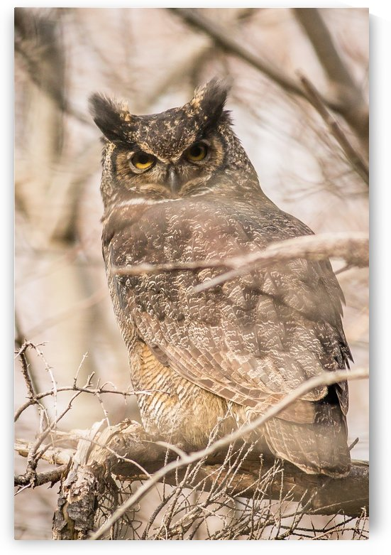 Great horned by Roman Buchhofer