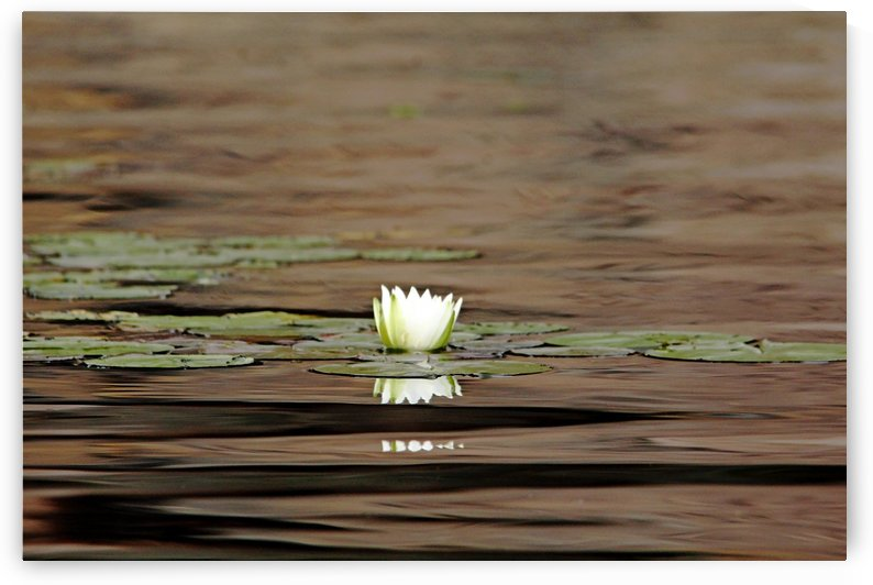Interesting Water Lily Reflections by Deb Oppermann