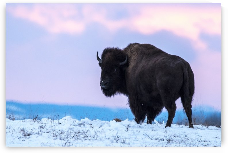 Buffalo by Deana McNeish