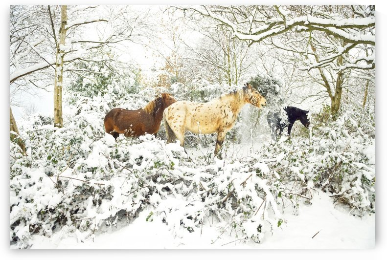 SNOWY APPALOOSA by ANDREW LEVER GALLERY