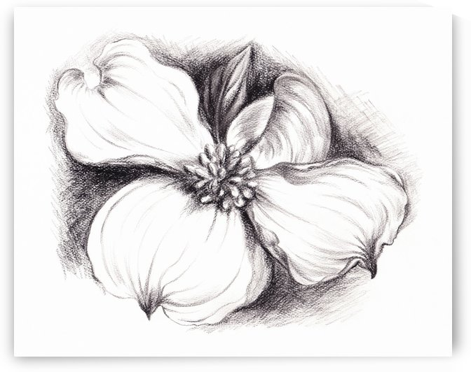 Dogwood Flower in Charcoal by MM Anderson