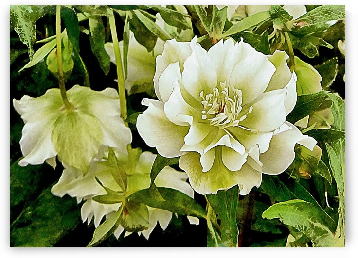 Beauty In A Lenten Rose by Dorothy Berry-Lound