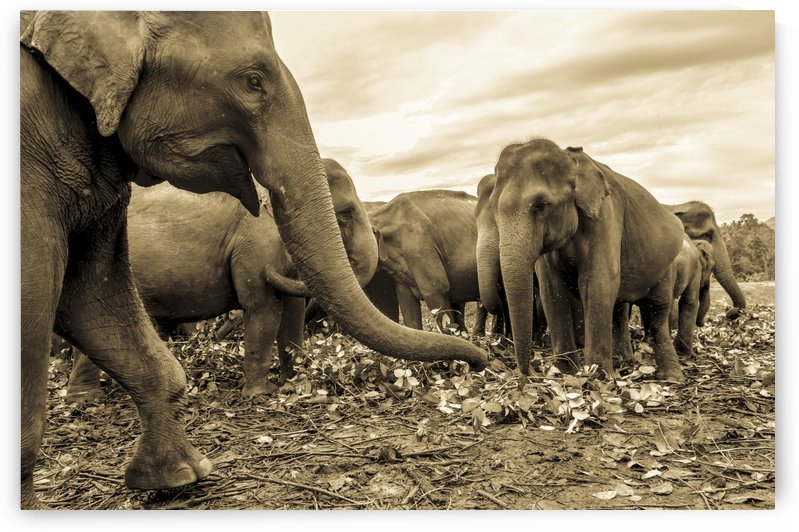 ASIAN ELEPHANTS by ANDREW LEVER GALLERY