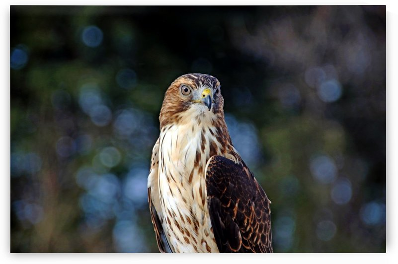 Young Broad Winged Hawk by Deb Oppermann