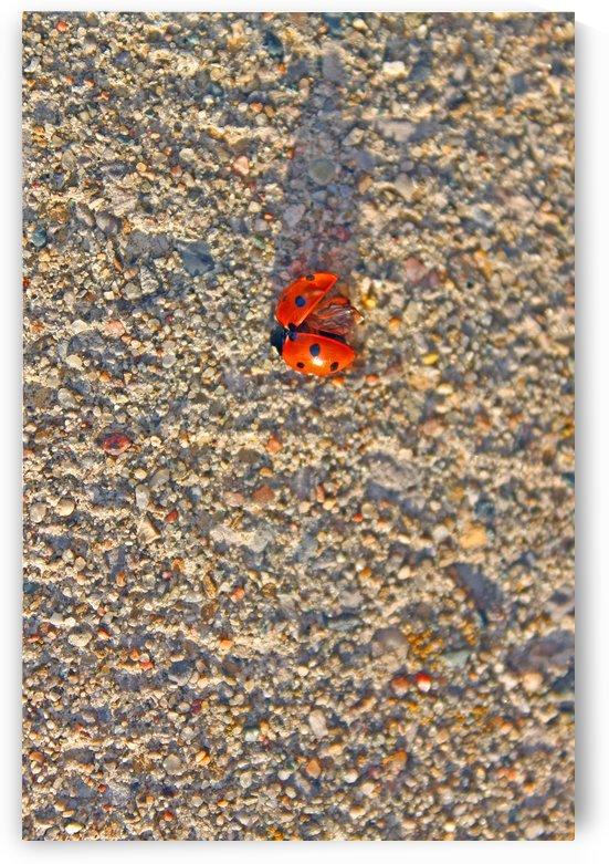 Red Ladybug by Gods Eye Candy