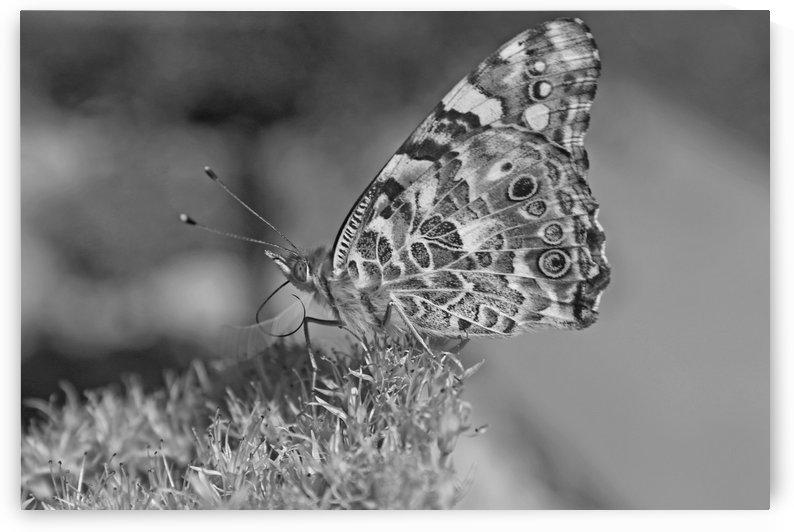 Beautiful Butterfly B&W by Gods Eye Candy