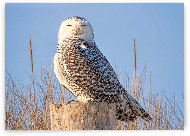 Snowy owl by Photography by Janice Drew