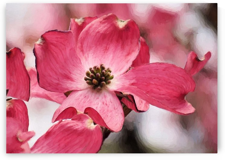 Dogwood by Photography by Janice Drew