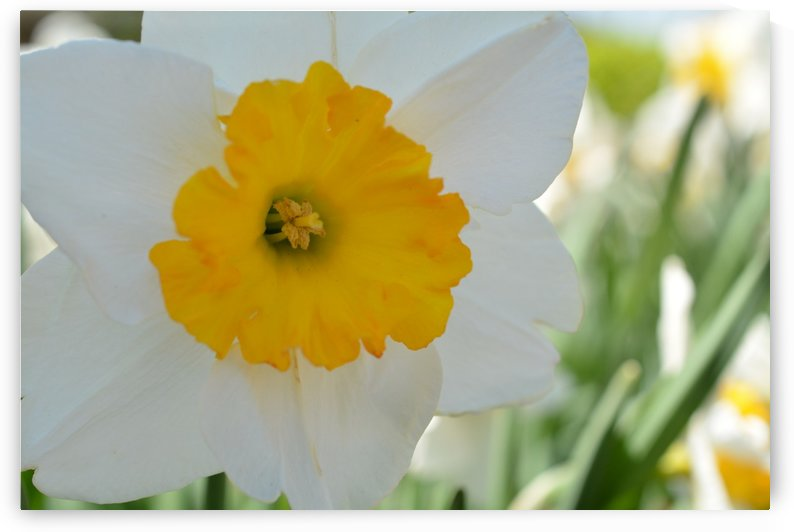 White Daffodil Photograph by Katherine Lindsey Photography