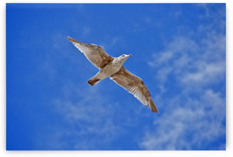 Seagull by Kirsten Warner