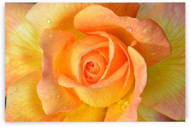 Chichewa Peach Rose  by Shabby Chic Art