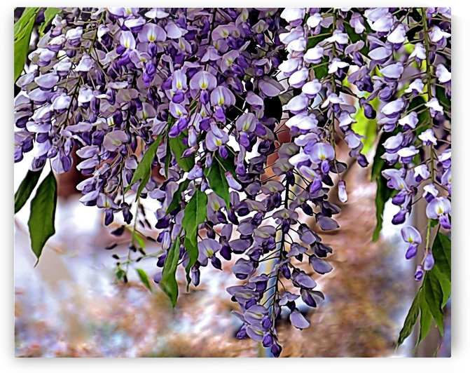 Wisteria by Photography by Janice Drew