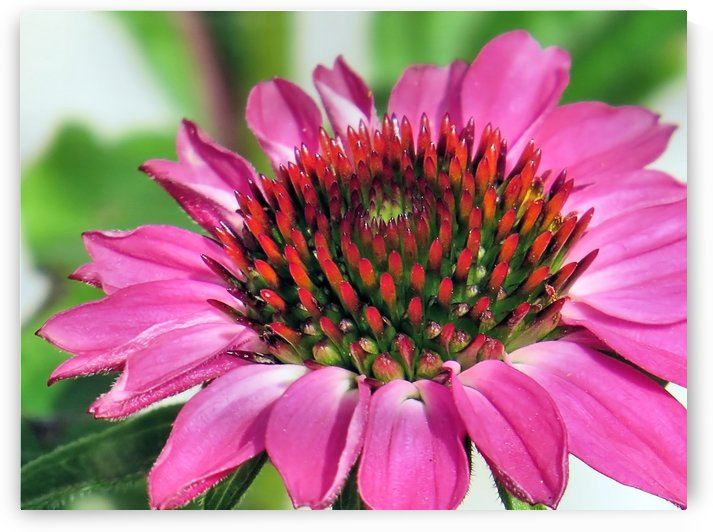 Pink coneflower  by Photography by Janice Drew