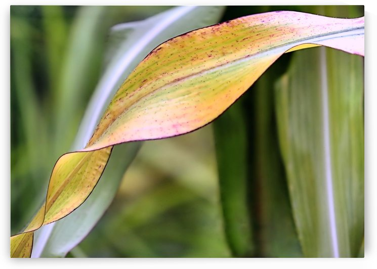 Flint corn leaf by Photography by Janice Drew