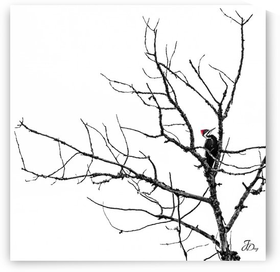Pileated Woodpecker - Square by Jeff Day