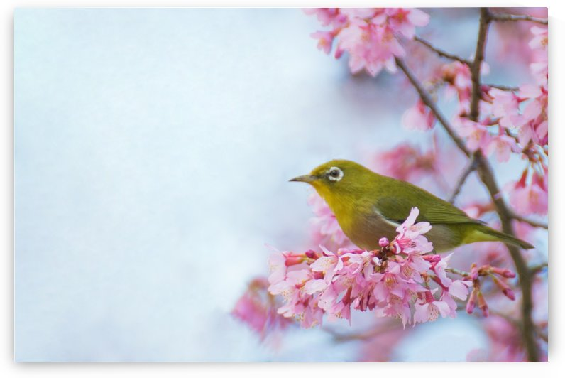 Bird In Sakura Cherry Blossom Tree by Wander Eddie