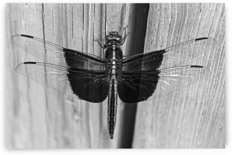 Dragonfly B&W by Gods Eye Candy