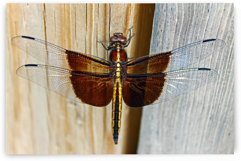 Dragonfly    by Gods Eye Candy