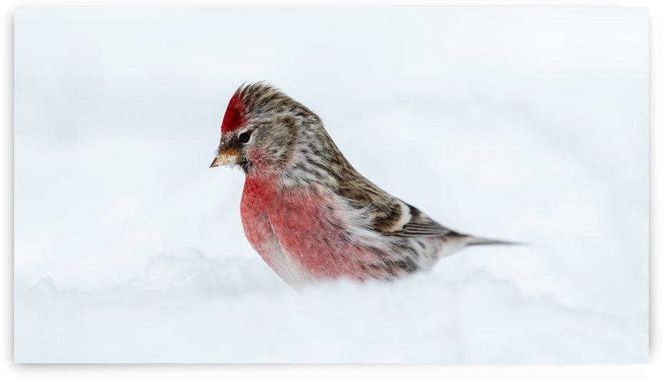 Common Redpoll by Jimmie Pedersen