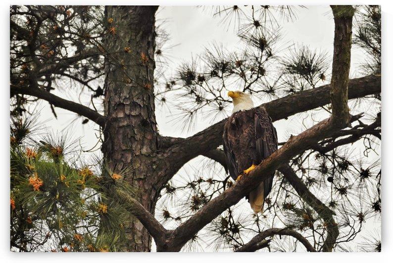 Eagles by LambySnaps