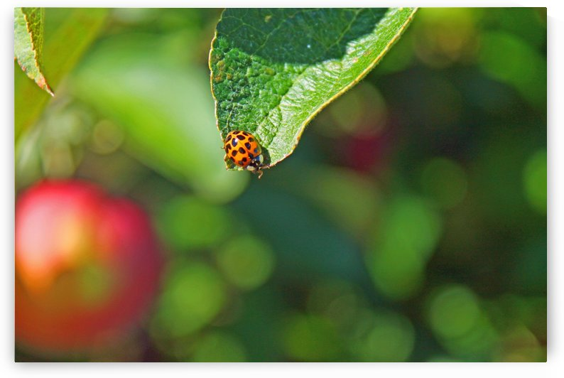 Ladybug and a leaf by Gods Eye Candy