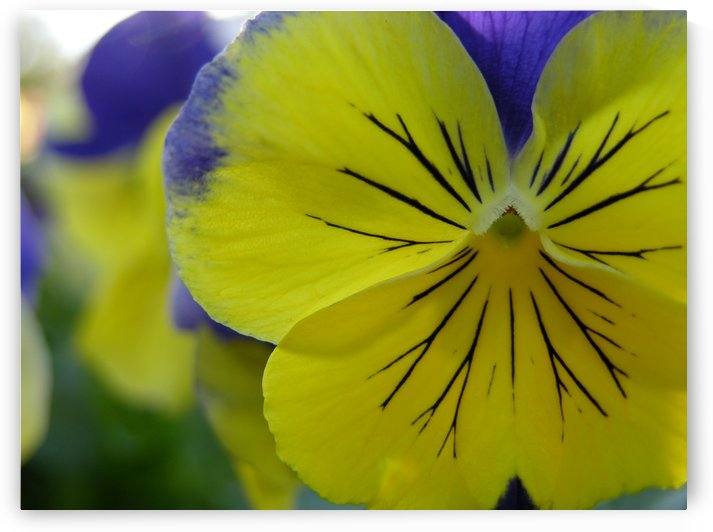 Yellow Pansy Photograph by Katherine Lindsey Photography