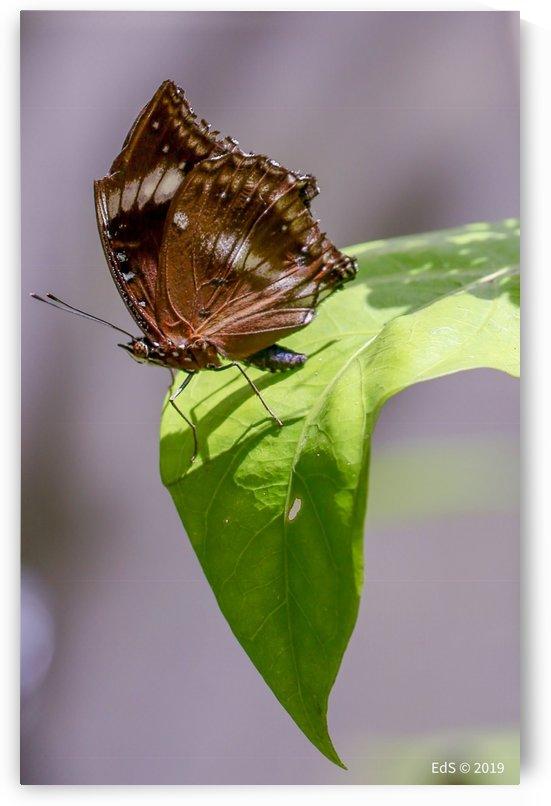 The Butterfly by Edwin De Smet
