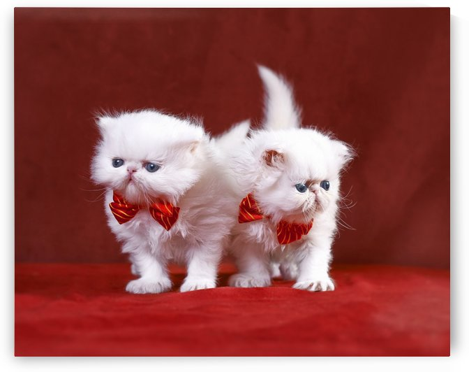 White Persian Kittens with bow ties by Alexandra Draghici
