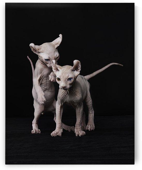 Elf Sphinx kittens by Alexandra Draghici