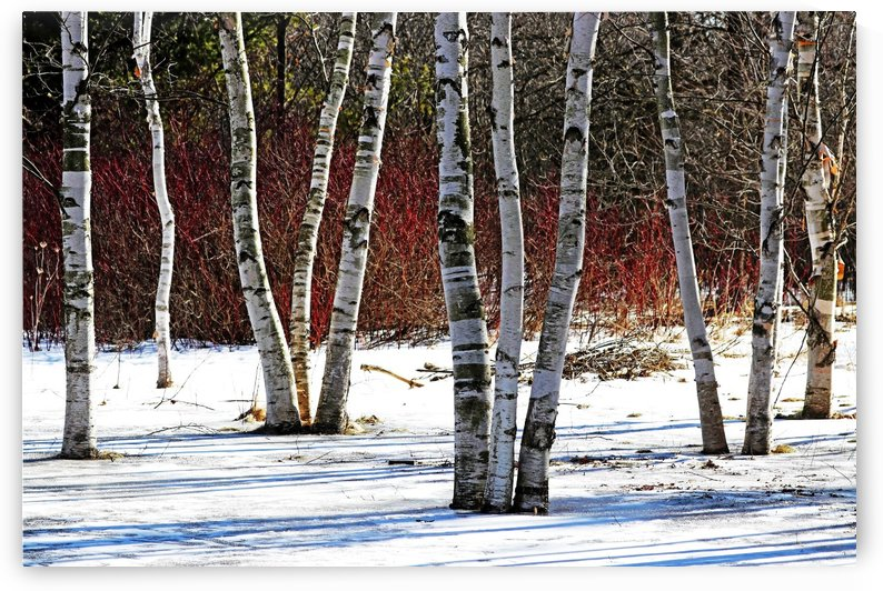 Birches And Dogwood by Deb Oppermann
