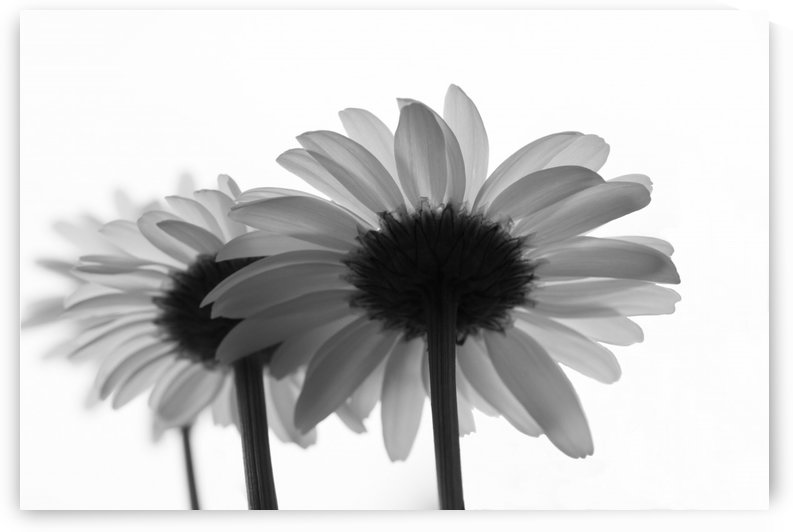 Daisies Rowing To The Left BW by Garald Horst