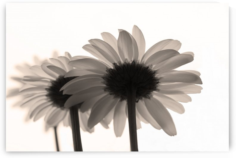 Daisies Rowing To The Left Sepia by Garald Horst