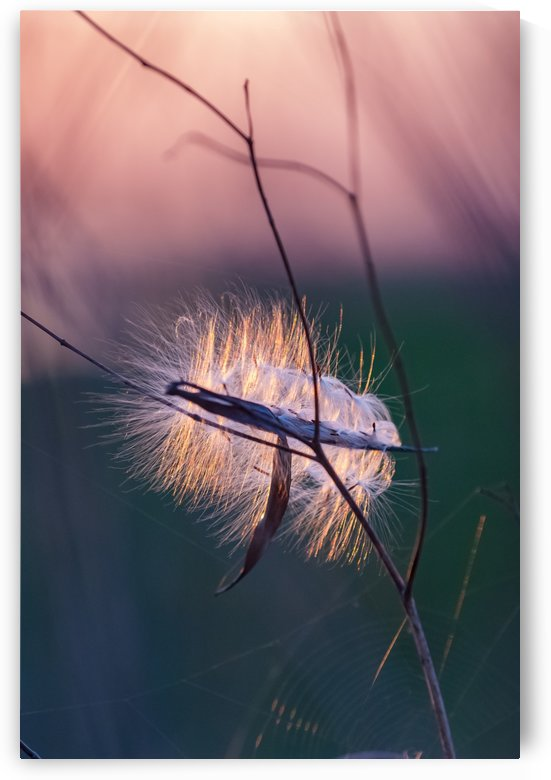 Swamp Milkweed Overwintered by Garald Horst