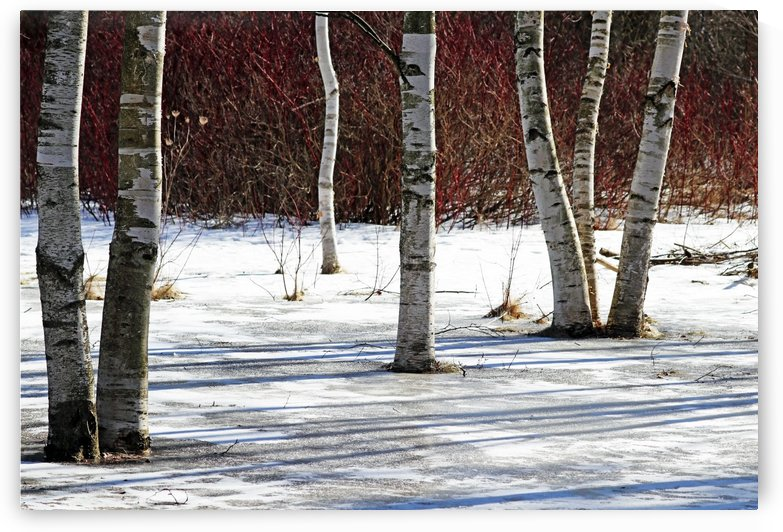 Birch Bark And Red Twigs by Deb Oppermann
