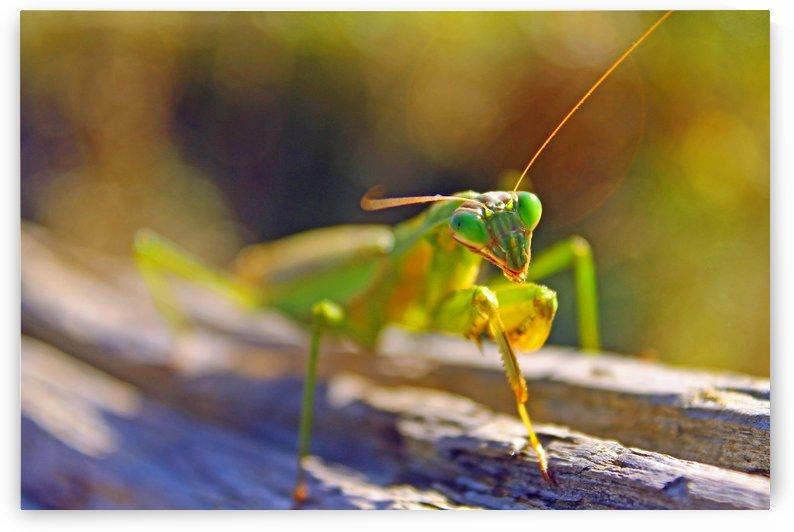 Green Praying-mantis by Gods Eye Candy