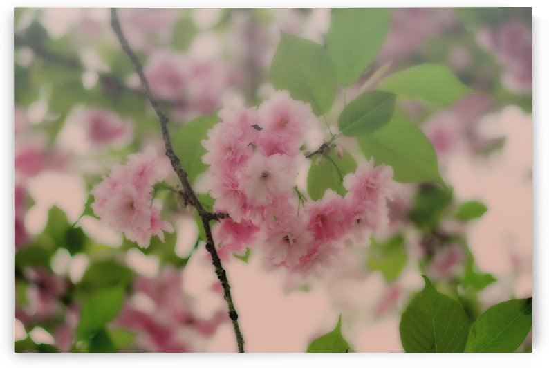 Cherry Blossoms by Matthew D Alto