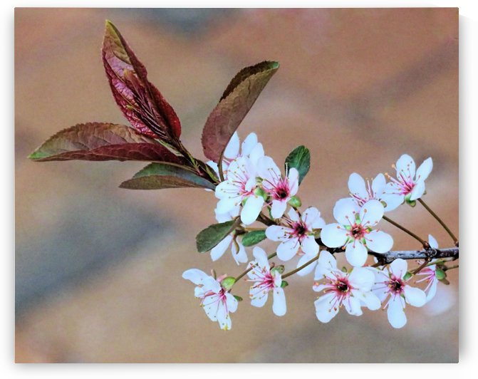 Cherry plum blossom by Photography by Janice Drew