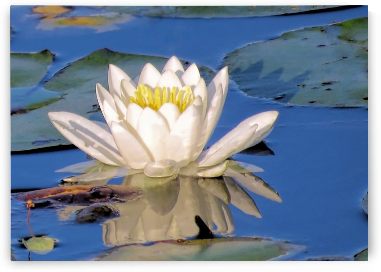 Water lily reflection by Photography by Janice Drew