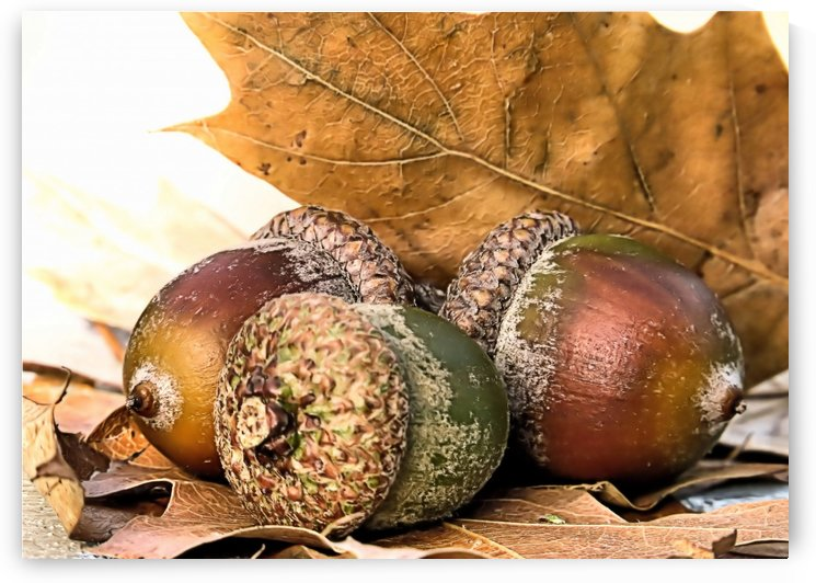 Acorns by Photography by Janice Drew