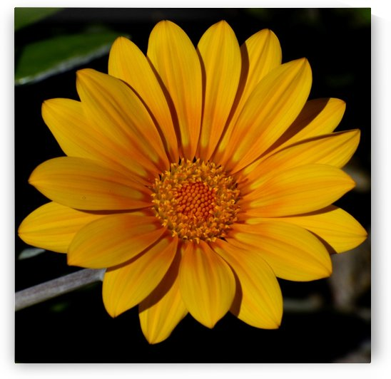 Egg Yolk Yellow daisy Gazania flower Photograph  by Puzbie